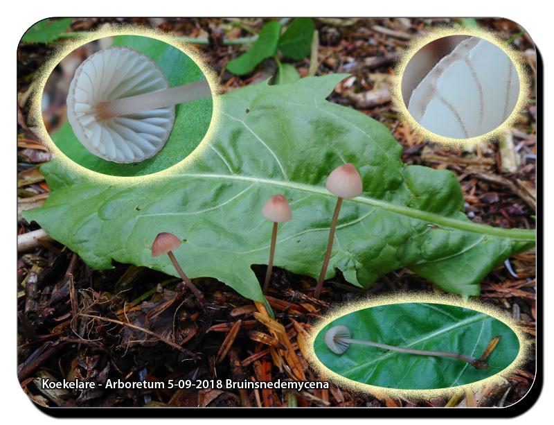 Koekelare-Arboretum-5-09-2018-Bruinsnedemycena