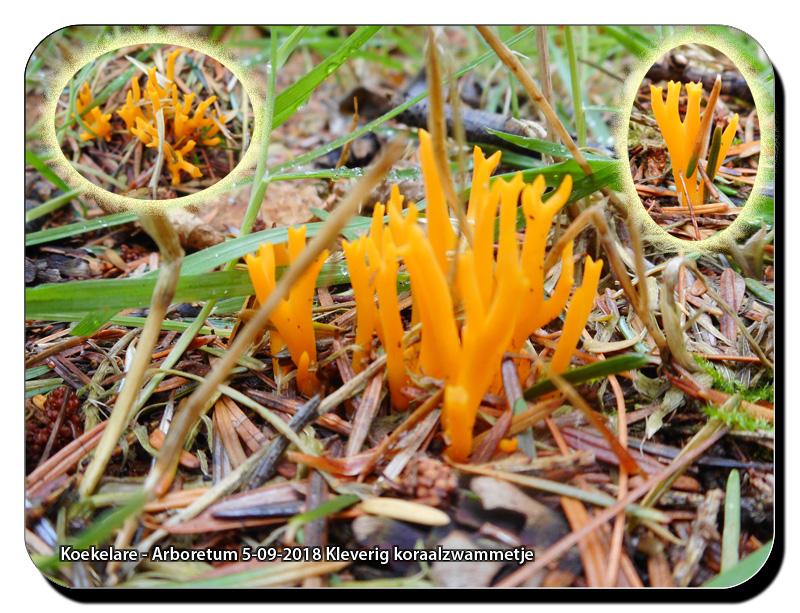 Koekelare-Arboretum-5-09-2018-Kleverig-koraalzwammetje