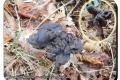 Koekelare - Arboretum 04-10-2017 Zwarte kluifzwam