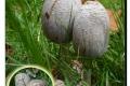 Koekelare - Arboretum 04-10-2017 Grote kale inktzwam
