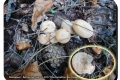 Koekelare - Arboretum 04-10-2017 Knotsvoettrechterzwam
