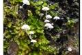 Rhodesgoed 06-12-2017 Witte schorsmycena